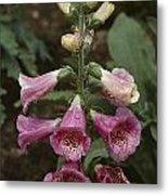 Close View Of Blooming Foxglove Metal Print by Sam Abell