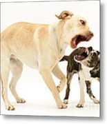 Dogs Playing Metal Print by Mark Taylor