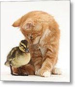Ginger Kitten And Mallard Duckling Metal Print by Mark Taylor