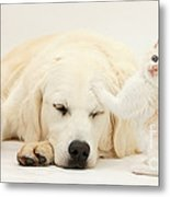 Golden Retriever With Two Kittens Metal Print by Mark Taylor