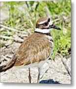 Killdeer Pose Metal Print by Lynda Dawson-Youngclaus