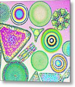 Lm Of Fossilized Diatoms Metal Print by M. I. Walker