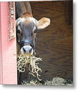 Moo Now Metal Print by Kathy Gibbons