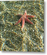 Starfish In Shallow Water Metal Print by Ted Kinsman