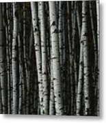 A Forest Of White Birch Trees Betula Metal Print by Medford Taylor