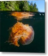 Lions Mane Jellyfish Swimming Metal Print by Paul Nicklen