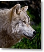 Arctic Wolf Portrait Metal Print by Michael Cummings