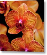Deep Cut Orchid Society 15th Annual Orchid Show Metal Print by Dan Pfeffer