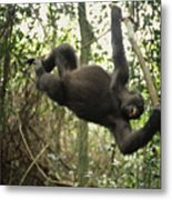 A Gorilla Swinging From A Vine Metal Print by Michael Nichols