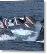 A Group Of Humpback Whales Bubble Net Metal Print by Ralph Lee Hopkins