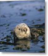A Sea Otter Floats In A Tangle Of Kelp Metal Print by Paul Nicklen