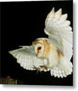 Barn Owl Metal Print by Andy Harmer and SPL and Photo Researchers