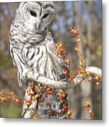 Barred Owl Portrait Metal Print by Cindy Lindow