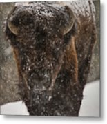 Bison Buffalo Wyoming Yellowstone Metal Print by Mark Duffy