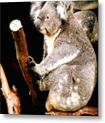 Blue Mountains Koala Metal Print by Darren Stein
