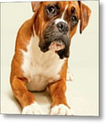 Boxer Dog On Ivory Backdrop Metal Print by Danny Beattie Photography