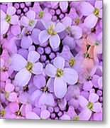 Candytuft Metal Print by Mary P. Siebert