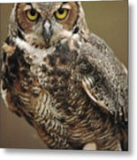 Captive Great Horned Owl, Bubo Metal Print by Raymond Gehman