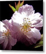 Cherry Blossoms Metal Print by Debra     Vatalaro