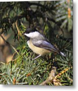 Chickadee-9 Metal Print by Robert Pearson