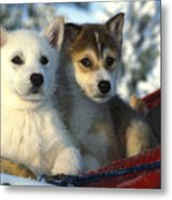 Close Up Of Siberian Husky Puppies Metal Print by Nick Norman