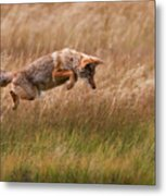 Coyote Leaping - Gibbon Meadows Metal Print by Photo by DCDavis