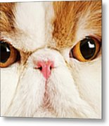 Domestic Persian Cat Against White Background. Metal Print by Martin Harvey