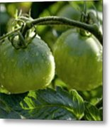 Drops On Immature Green Tomatoes After A Rain Shower Metal Print by Sami Sarkis
