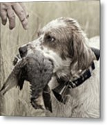 English Setter And Hungarian Partridge - D003092a Metal Print by Daniel Dempster