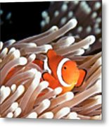 False Clown Anemonefish Metal Print by Copyright Melissa Fiene