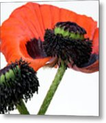 Flower Poppy In Studio Metal Print by Bernard Jaubert
