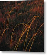 Grasses Glow Golden In Evenings Light Metal Print by Raymond Gehman