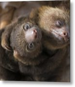 Hoffmanns Two-toed Sloth Orphans Hugging Metal Print by Suzi Eszterhas