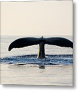 Humpback Whale Fluke Metal Print by M Sweet