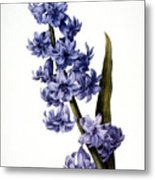 Hyacinth Metal Print by Granger