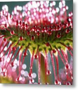 Leaf Of Sundew Metal Print by Nuridsany et Perennou and Photo Researchers