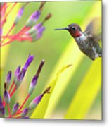 Male Anna's Hummingbird Metal Print by Mike Herdering