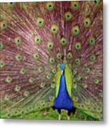 Peacock Metal Print by Carlos Caetano