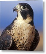 Peregrine Falcon Metal Print by Sandra Bronstein