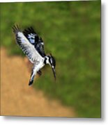 Pied Kingfisher Metal Print by Tony Beck