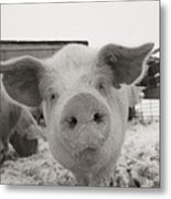 Portrait Of A Young Pig. Property Metal Print by Joel Sartore