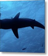 Scalloped Hammerhead Shark Underwater View Metal Print by Sami Sarkis