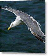 Seagull  In Flight Metal Print by Randall Ingalls