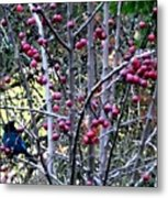 Stellar Jay In Crab Apples Metal Print by Will Borden