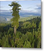 The Largest Patch Of Old Growth Redwood Metal Print by Michael Nichols