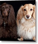 Two Dachshunds Metal Print by Doxieone Photography