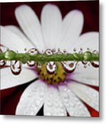 Water Drops And Daisy Metal Print by Dr T J Martin