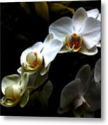 White Orchid With Dark Background Metal Print by Jasna Buncic