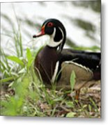 Wood Duck 2 Metal Print by Geary Barr