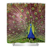 Peacock Shower Curtain by Carlos Caetano